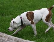 American Staffordshire Terrier - Unter dem Namen American Staffordshire Terrier ist diese Rasse seit dem 1. Januar 1972 international anerkannt.