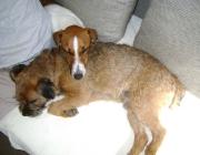 Hundewelpen - Die neonatale Phase erstreckt sich über die ersten zwei Lebenswochen des Welpen. Diese Zeit wird von ihnen hauptsächlich mit Saugen und Schlafen verbracht.