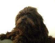 Tibet Terrier - Der Tibet Terrier ist daher robust und widerstandsfähig. Ein dichtes, üppiges Haarkleid zum Schutz gegen Kälte und Hitze ist ihm angeboren.