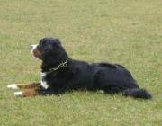Berner Sennehund - Er ist gutmütig, friedlich, anhänglich und treu ergeben.