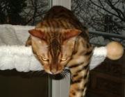 Bengalkatzen - Die Bengalkatze ist eine noch recht junge und exotische Hauskatzenrasse.