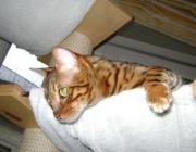 Bengalkatzen - Sie ist mehr oder weniger so groß wie eine normale Hauskatze, die in den Wäldern Süd-Ost Asiens heimisch ist.