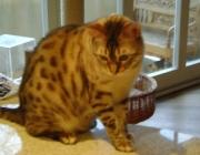 Bengalkatzen - Ihr Erscheinungsbild ist von Stärke, Agilität und Balance geprägt.