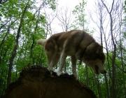 Husky - Siberian Husky / Um es gleich vorneweg zu sagen, der Husky ist nicht so einfach zu erziehen wie manch andere Rasse. Allerdings gibt es durchaus auch bei den Nordischen Hunde, die frei laufen können, da sie sehr gut gehorchen. Die Besitzer dieser Hunde haben es meist sehr genau mit der Erziehung ihrer Vierbeiner genommen und von Anfang an ernsthaft und systematisch mit ihren Hunden gearbeitet. Die Verhaltensregeln, die für den erwachsenen Husky gelten sollen, müssen auch für den Welpen schon verbindlich sein, absolute Konsequenz, Geduld und Beständigkeit sind hier das Wichtigste.