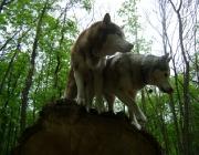 Husky - Siberian Husky / Als aller erstes sollte man etwas finden womit man seinen Husky motivieren kann. Sei es ein Leckerli oder einfach ein Lob mit Streicheleinheiten. Das kann unter Umständen sehr wirksam sein, denn der Hund muss merken, dass es sich lohnt wenn er seinem Herrchen gehorcht.