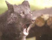 Wölfe - Timberwolf / Dabei werden die Männchen etwas größer und schwerer als die Weibchen. Das Fell ist buschig. Die Fellfarbe reicht von weiß, hellgrau über cremefarben bis zu schwarz, wobei die Färbung im Winter etwas heller ist.