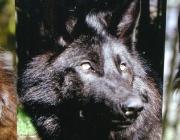 Wölfe - Timberwolf / Der recht breite Kopf sitzt auf einem massigen Hals. Der Timberwolf hat eine Lebenserwartung von etwa 20 Jahren.
