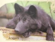 Wölfe - Timberwolf / Wölfe sind gesellige Tiere und leben gerne im Rudel. Mehrere Männchen und Weibchen mit den Jungen kümmern sich umeinander, aber nach einer ganz bestimmten Rangfolge.