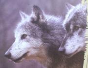 Wölfe - Timberwolf / Ist alles im Rudel geklärt, lebt die Großfamilie, zu der bis zu zehn Wölfe gehören, recht friedlich zusammen. Alle jagen gemeinsam und verteilen das Fressen gerecht an die Jungtiere und an die alten Wölfe der Gruppe.