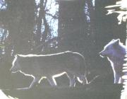 Wölfe - Timberwolf / Die Rangfolge erkennt man an der Körperhaltung des Wolfes. Die ranghöchsten Tiere sind das Alpha-Männchen und das Alpha-Weibchen.