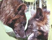 Wölfe - Timberwolf / Sie zeigen ihre Stellung im Rudel durch selbstbewusstes Verhalten: Aufrechten Ganges und mit hochgestelltem Schwanz laufen sie umher. Gibt es Streit in der Gruppe, zeigen sich die Untergebenen demütig: Ihre Körperhaltung ist geduckt, die Ohren sind nach hinten gelegt, der Schwanz ist eingezogen.