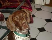 Deutsch Kurzhaar - Es wurde auf die Jagd hin gezüchtet und vermutet wird, dass spanische Bracken und Bloodhounds eingekreuzt wurden, in der weiteren Zucht dann auch englische Pointer und Foxhounds.