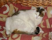 Europäisch Kurzhaar Katze - Die Europäisch Kurzhaar (bei der WCF Keltisch Kurzhaar genannt) ist eine Katzenrasse.
