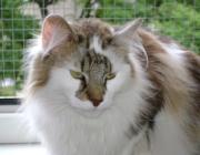 """Norwegische Waldkatze - Die Norwegische Waldkatze (norwegisch: Norsk Skogkatt) ist eine den Wildkatzen sehr nahe stehende Hauskatze und wird daher den """"natürlichen Rassen"""" zugerechnet. Sie wird manchmal auch kurz als Norweger bezeichnet. Die Norwegische Waldkatze ist groß, robust und hat halblanges Haar mit einem ausgeprägten buschigen Schwanz und einer deutlichen Halskrause."""