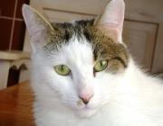 Europäisch Kurzhaar Katze - Die Entwicklung der Europäisch Kurzhaar wird hauptsächlich auf die Falbkatze, eine afrikanische Katze, zurückgeführt. Die Falbkatze weist bei Körperbau, Schädel und Zahnstellung auffallende Ähnlichkeiten zur Hauskatze auf.