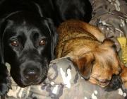 Labrador Retriever - Griffon Petit Brabancon