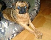 Griffon Petit Brabancon - Der Petit Brabançon (frz. für Kleiner Brabanter, auf deutsch Brabanter Griffon) ist eine von der FCI anerkannte Hunderasse aus Belgien die zu den Belgischen Zwerggriffons gehört.