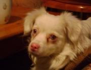 Spitz Mischling - Als Spitze werden eine Reihe von Hunderassen bezeichnet. Dabei wird zwischen europäischen Spitzen und asiatischen Spitzen unterschieden.