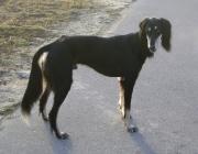 Saluki - Der Saluki, auch Persischer Windhund genannt, ist eine anerkannte Windhundrasse aus dem Mittleren Osten (Langhaarige oder befederte Windhunde).