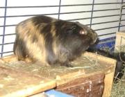 Hamster - Die Hamster (Cricetinae) sind eine Gruppe der Mäuseartigen und werden meist den Wühlern zugeordnet.