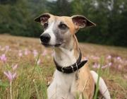 """Whippet - Diese bezaubernde, elegante Windhundrasse eignet sich hervorragend als idealer Familienhund und Gesellschafter. Sein freundliches, stets """"gut gelauntes"""" Wesen und sanftes Temperament ergänzen perfekt das ästhetische Exterieur. Trotz aller Feinheit und Grazie ist der Whippet durch und durch ein robuster, sehr sportlicher """"unverzüchteter"""" Hund, der die freie Bewegung liebt, um seine schnellen Beine richtig strecken zu können."""