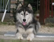 Husky - Gegenüber fremden Hunden und Haustieren werden sie oft aggressiv. Andererseits sind sie liebenswürdig, menschenfreundlich und gesellig. Sie gelten als wenig domestizierte Hunde. Sie ziehen an der Leine und gehen ihrem Besitzer spätestens dann durch, wenn sie nicht angeleint ein Stück Wild erblicken.