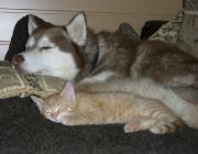 Hunde - Katzen / In freier Natur gehen sich Hund und Katze aus dem Weg bzw. löst das Fluchtverhalten der Katze beim Hund sogar einen Beutetrieb aus.