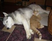 Hunde - Katzen / Trotzdem können die beiden in menschlicher Obhut friedlich nebeneinander leben und sogar die besten Freunde werden.