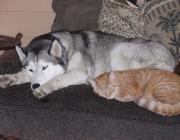 Hunde - Katzen / Die Verhaltensmuster beider Tierarten sind gegensätzlich! Durch das der innerartlichen Verständigung dienende Ausdrucksverhalten beider kommt es zu Missverständnissen.