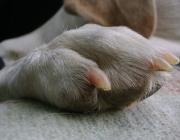 Hundebetreuung Wien / Hundepfote - Die Hinterpfote besteht ebenso aus 5 Zehen mit Krallen und verfügt über den selben Ballenaufbau. Es gibt hier jedoch einen kleinen Unterschied in der Bezeichnung. Die Ballen der Vorderläufe nennen sich Karpalballen und Die der Hinterläufe Tarsalballen.