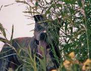 """Hunde (Canidae) - Das wichtigste """"Riechorgan"""" ist das Gehirn, hier werden die eintreffenden Daten verarbeitet und ausgewertet. Dabei ist zu beachten, dass Hunde """"Stereo"""" riechen können, die Nase kann also """"rechts und links"""" differenzieren, ähnlich wie beim Sehen."""