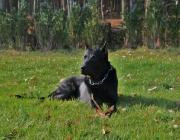 Beauceron - Der Beauceron ist eine französische Hunderasse.