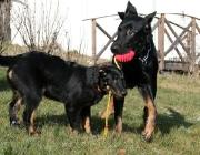 """Beauceron - Eine """"harte Hand"""" verträgt er nicht. Bei der Haltung als Familienhund kann Hüteverhalten den Familienmitgliedern gegenüber vorkommen. Wie alle Arbeitshunde braucht er viel Beschäftigung, beispielsweise Hundesport."""