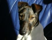 Dogsitting Wien - Hundebetreuung Stieglecker / Glatthaarfoxterrier - Der