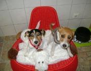 Hunde (Canidae) - Der domestezierte Hund wird als Canis familiaris bezeichnet. Weitere Mitglieder dieser Familie sind Wölfe, Füchse, Kojoten, Schakale und Wildhunde.