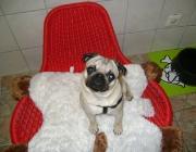 Hunde (Canidae) - Für die Bewegung des Hundeohres sind 17 Muskeln verantwortlich. Selbst Hunde mit Schlappohren sind in der Geräuschortung nur knapp den Stehohrigen unterlegen.