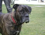 www.HUNDEBETREUUNG.co.at - Cane Corso Italiano / Der Cane Corso ist ein großer (bis 68 cm, 50 kg), kräftiger, deutlich molosserartiger Hund, der insgesamt etwas länger als hoch sein sollte.