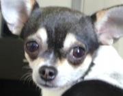 Chihuahua Apfelkopf - Hundebetreuung Stieglecker