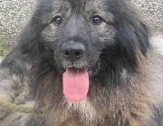 Hundebetreuung Wien / Sarplaninac - Der Šarplaninac ist eine über die Jahrhunderte entstandene Rasse, die die Hirten im Bereich Serbiens und Mazedoniens als Herdenschutzhund begleitete. Er wurde nach dem an der Grenze zwischen Kosovo und Mazedonien gelegenen Gebirge