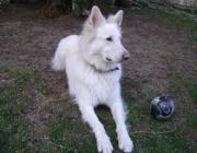 Berger Blanc Suisse - White Shepherd