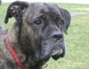 www.HUNDEBETREUUNG.co.at - Cane Corso Italiano