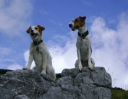 Betreuungshunde - Parson Russell Terrier