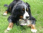 Hundebetreuung.co.at - Berner Sennenhund