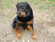 Hundebetreuung.co.at - Rottweiler