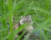 Katzenbetreuung Wien - Maine Coon / Die Katzendamen sind erheblich kleiner als die Kater und wiegen durchschnittlich ca. 4,5 - 6,5 kg.