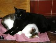 Katzenbetreuung Wien - Katzenliebe / Die weibliche Rangordnung unterliegt dagegen anderen Regeln. Weibchen mit Jungen haben einen besonderen sozialen Status inne.
