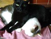 Katzenbetreuung Wien - Katzenliebe / Innerhalb einer Gruppe begrüßen sich die befreundeten Tiere durch einen Nasenkuss, wobei sie die Nasen aneinander reiben.