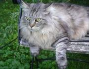 Katzenbetreuung Wien - Maine Coon / Die Maine Coon gehört zu den Halblangharkatzen. Das Fell ist nicht überall gleich lang, sondern am Hals, den Hinterbeinen und am Schwanz deutlich länger als am Körper.
