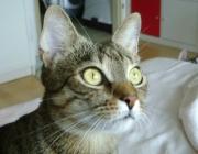 www.KATZENBETREUUNG.at - Tigerkatze /  Tabby bezeichnet die typischen Fellzeichnungen von Katzen, wenn die Katze nicht einfarbig oder einfarbig mit weiß ist. Es werden dabei die Muster getigert, gestromt, getupft und getickt unterschieden.