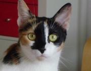 www.KATZENBETREUUNG.at - Glückskatze Hauskatze / Die echten dreifarbigen Katzen sind immer weiblich und haben die Farben orange, schwarz und weiß.